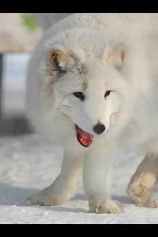 可爱的北极狐手机壁纸