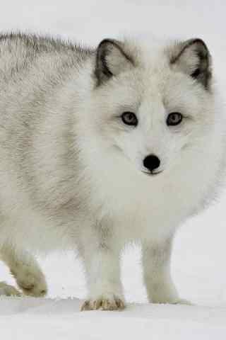 灰毛的北极狐手机壁纸