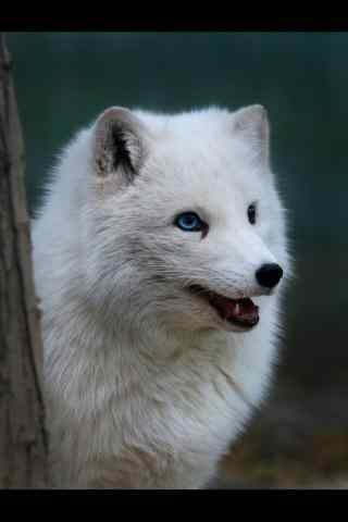 北极狐呆萌手机壁