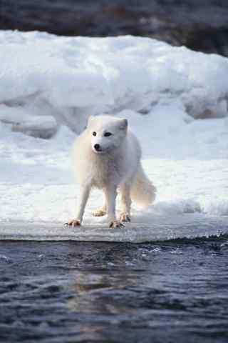 湖边的北极狐手机壁纸