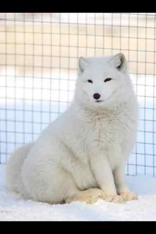 胖胖的北极狐手机壁纸