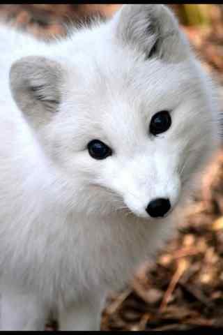 歪头卖萌的北极狐手机壁纸