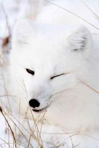 搞怪北极狐手机壁纸