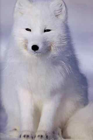 乖巧的北极狐手机壁纸