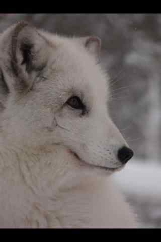 北极狐手机壁纸