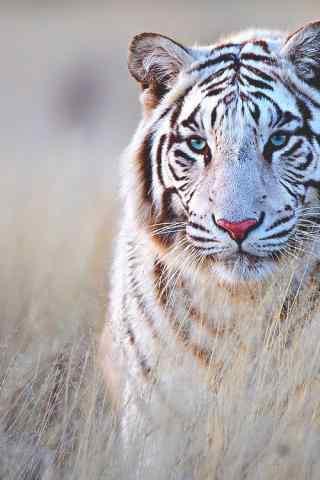 草丛中的白虎图片