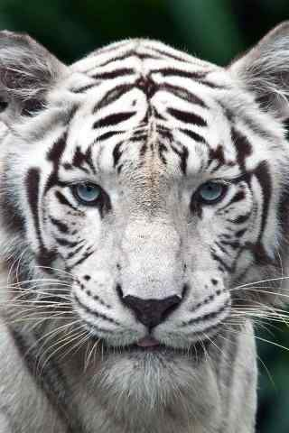 可爱的白虎图片手