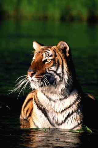 水里嬉戏的老虎图