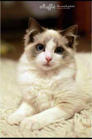 乖巧的布偶猫手机壁纸