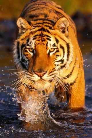 过河的老虎图片手