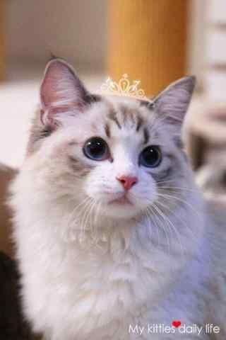 萌萌的布偶猫手机壁纸