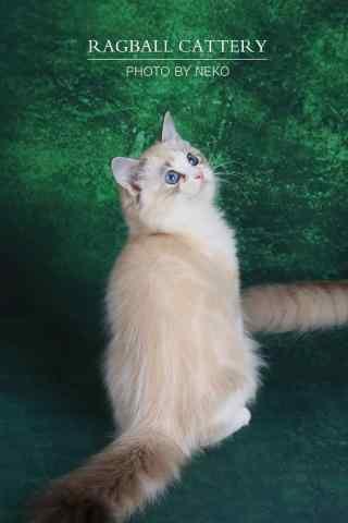 乖巧的布偶猫图片手机壁纸