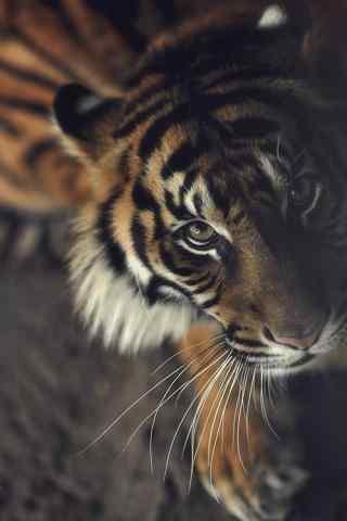 老虎犀利眼神图片