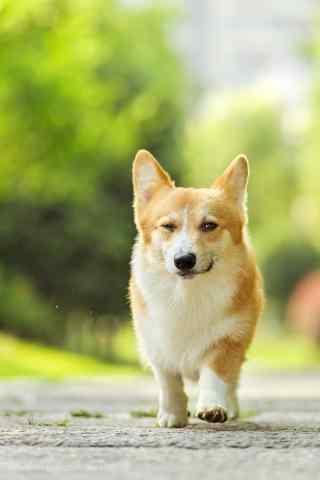小短腿狗狗在奔跑