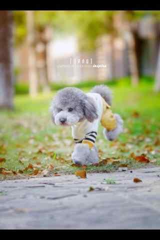泰迪狗在草坪上玩