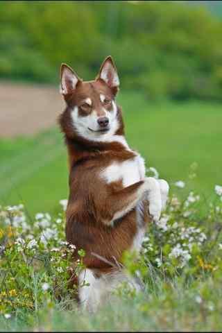 蹦跶在草地上的狗狗手机壁纸