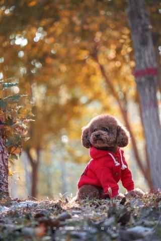穿着小红衣的泰迪