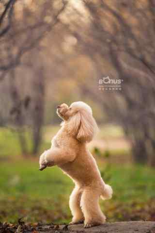 站立起来的泰迪狗