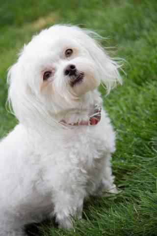 草地上可爱的狗狗手机壁纸