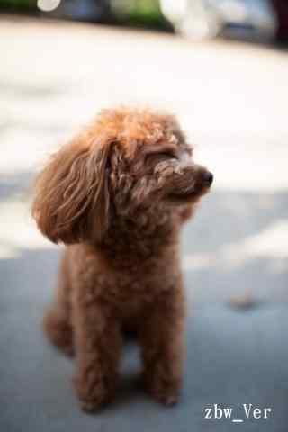 东张西望的泰迪狗