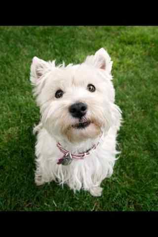 萌萌哒草地上的狗狗手机壁纸