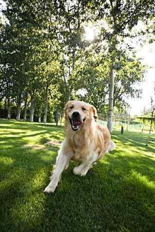 草地上奔跑的金毛狗狗手机壁纸