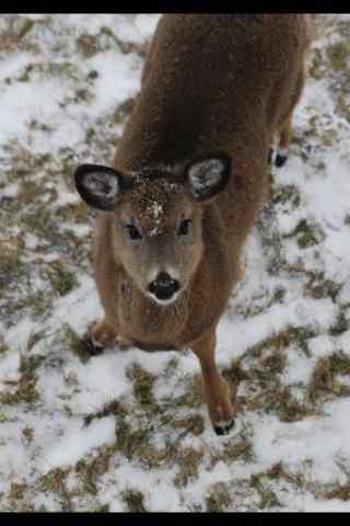 奈良鹿—雪中胖乎乎的小鹿桌面壁纸
