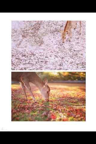 奈良鹿—唯美的小鹿手机壁纸