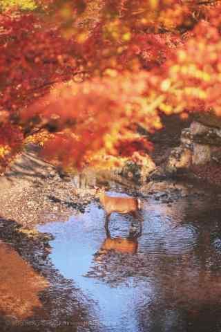 奈良鹿—红叶林下的小鹿手机壁纸