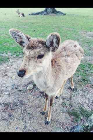 奈良鹿—可爱呆萌的小鹿手机壁纸