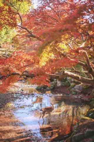 奈良鹿—溪水中的小鹿手机壁纸