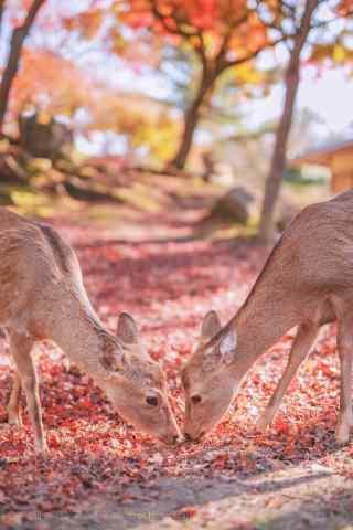 奈良鹿—两只低着头的小鹿手机壁纸