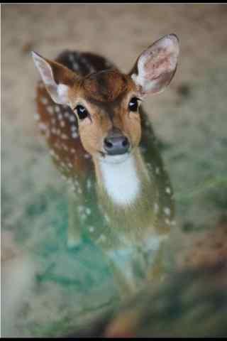 奈良鹿—小鹿呆萌的望你手机壁纸