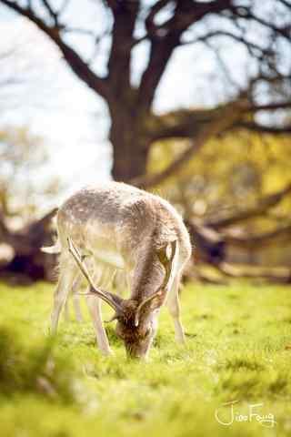 奈良鹿—小清新小鹿吃草手机壁纸