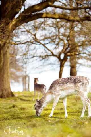 奈良鹿—两只小鹿在低头吃草手机壁纸