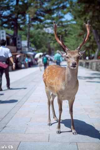奈良鹿—人群中的小鹿手机壁纸