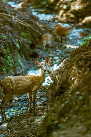 奈良鹿—溪水旁的可爱的小鹿手机壁纸