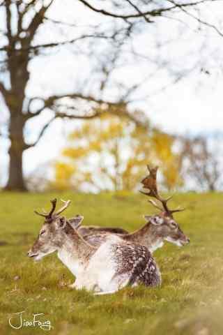 奈良鹿—草坪上的两只小鹿手机壁纸