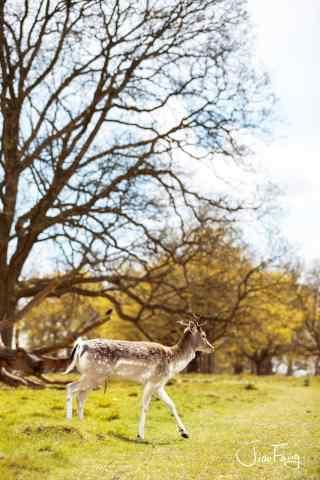 奈良鹿—欢乐的小鹿手机壁纸