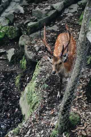 奈良鹿—林中的小鹿手机壁纸