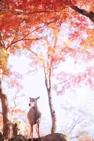奈良鹿—红叶林下可爱的小鹿手机壁纸