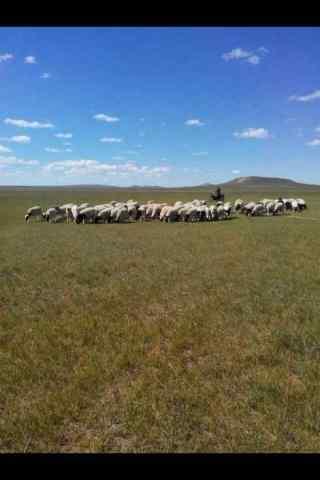 草原上的羊群手机壁纸