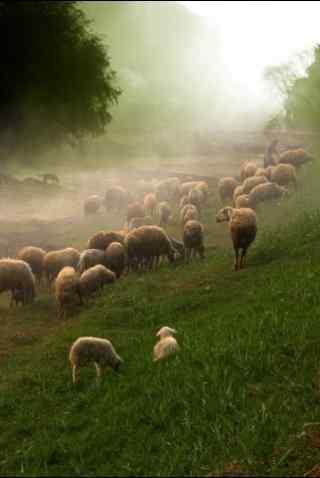 草原羊群手机壁纸