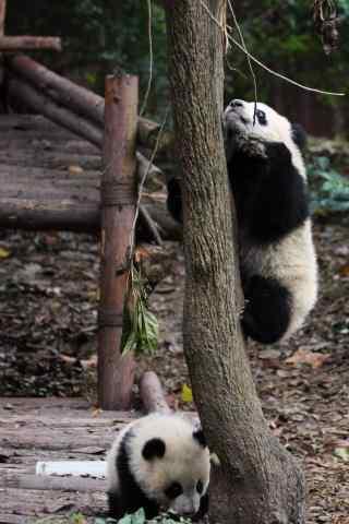 在树上玩耍的熊猫宝贝手机壁纸
