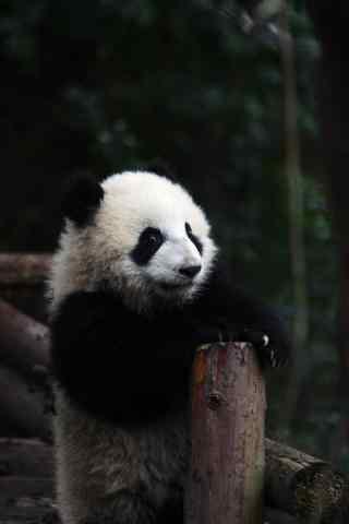 可爱软萌的熊猫手机壁纸