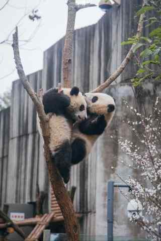 两只熊猫在树上玩耍手机壁纸