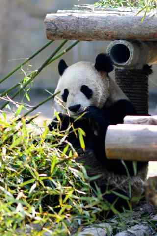 可爱的熊猫仔吃竹子桌面壁纸
