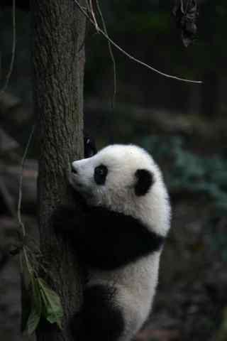 在爬树的熊猫手机壁纸