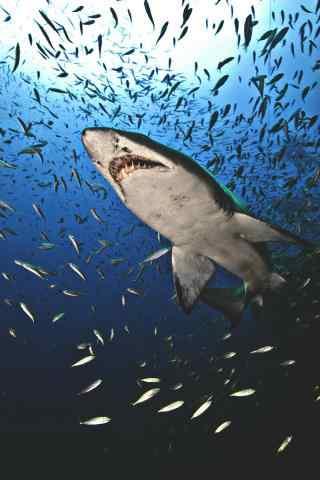 穿梭在鱼群的鲨鱼