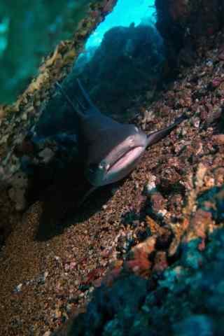 潜伏在水底的鲨鱼